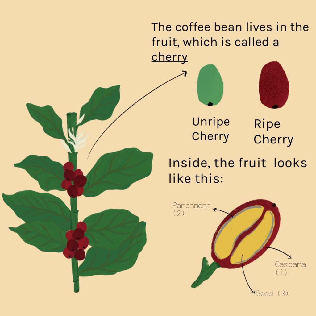 A look inside the coffee bean